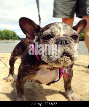 A funny french bulldog with sand on her face. - Stock Photo