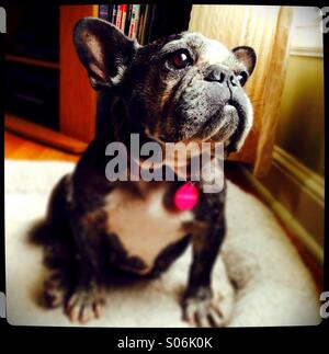 A cute, old french bulldog looking out a window. - Stock Photo