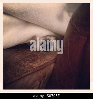 White dog under blanket with only nose showing - Stock Photo