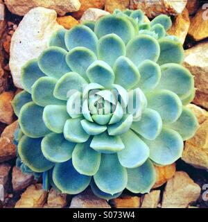 Close up of succulent plant growing in greenhouse - Stock Photo