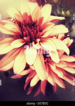 Orange dahlia flowers - Stock Photo