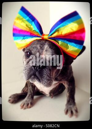 A cute old French bulldog wearing a rainbow bow. - Stock Photo