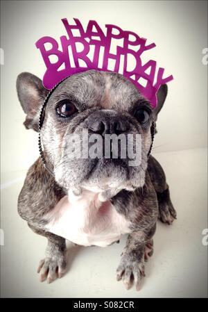 An old French bulldog wearing a birthday tiara. - Stock Photo
