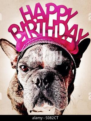 A grumpy french bulldog wearing a happy birthday tiara. - Stock Photo