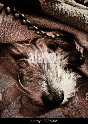 Dog sleeping under cover with muzzle poking out - Stock Photo