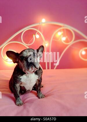 A cute old French bulldog sitting on a pink bed. - Stock Photo