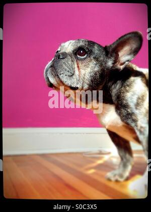 An old French bulldog, looking innocent. - Stock Photo