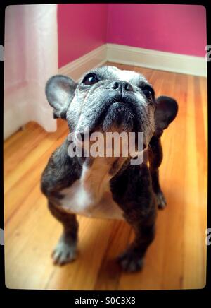 A cute old French bulldog looking up. - Stock Photo