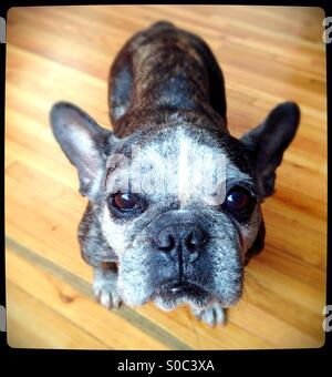 A cute, old French bulldog. - Stock Photo