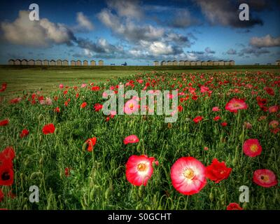 Field of red and pink poppies showing beach huts and seaside in background. - Stock Photo
