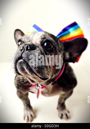 A cute old French bulldog wearing a rainbow striped bow. - Stock Photo