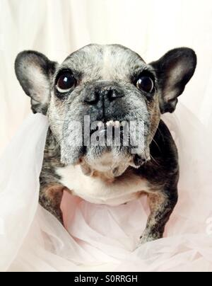 A close-up of a cute old French bulldog. - Stock Photo