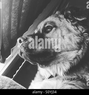 Chow retriever puppy looks out the window - Stock Photo