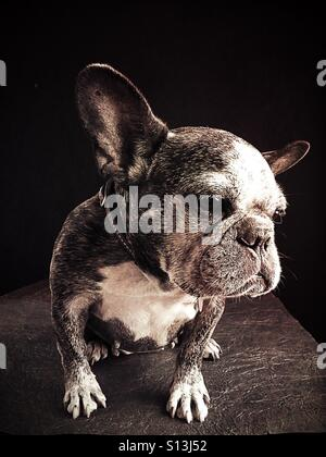 A funny but sad looking french bulldog. - Stock Photo