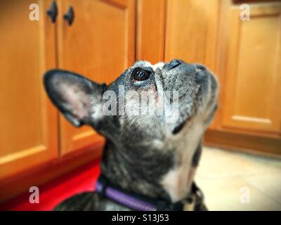 A cute french bulldog, looking up. - Stock Photo