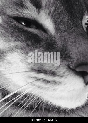Closeup portrait of silver-gray tabby cat, face only - Stock Photo