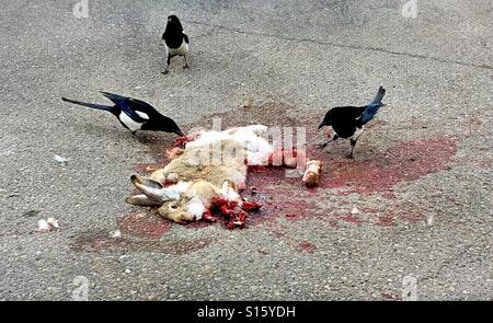 Magpies feast on the carcass of a freshly road-killed hare. - Stock Photo