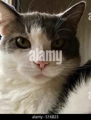 Beautiful charcoal gray and white Tuxedo Tabby domestic cat q - Stock Photo
