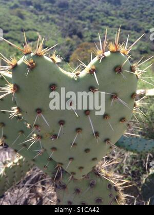 Heart, cactus, heart shape cactus, love, wilderness, trail, walk, nature. - Stock Photo