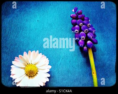 Daisy head and grape hyacinth on bright blue background - Stock Photo