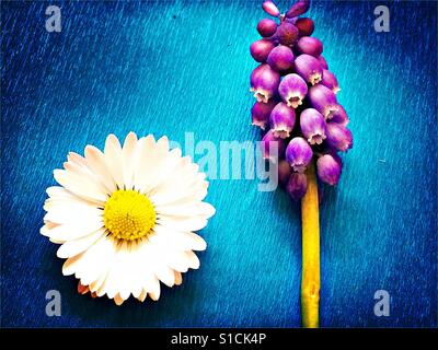 Daisy and grape hyacinth on bright blue background - Stock Photo