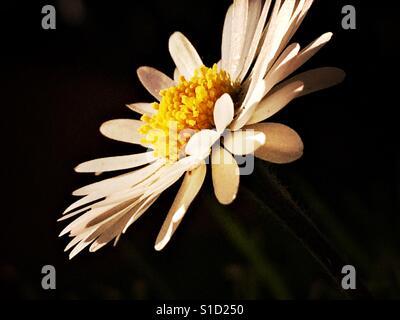 Beautiful daisy head shot in close up - Stock Photo
