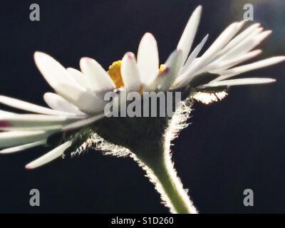 Pretty daisy head shot in close up - Stock Photo