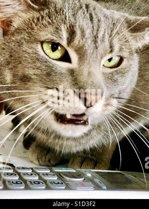 Portrait of silver-gray domestic shorthair tabby cat with striking green eyes and about to snarl at another cat - Stock Photo
