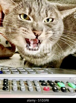 Portrait of angry silver gray domestic shorthair tabby cat with striking green eyes and hissing at another cat - Stock Photo