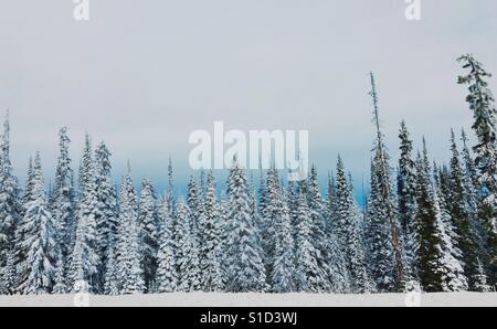 Line up of snow covered evergreen trees. At the edge of an alpine forest. Pastel colours. Space for copy. - Stock Photo