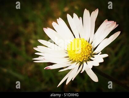 Daisy head in close up - Stock Photo
