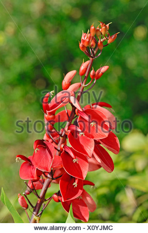 Cockspur coral tree (Erythrina crista-galli), native to South America - Stock Photo