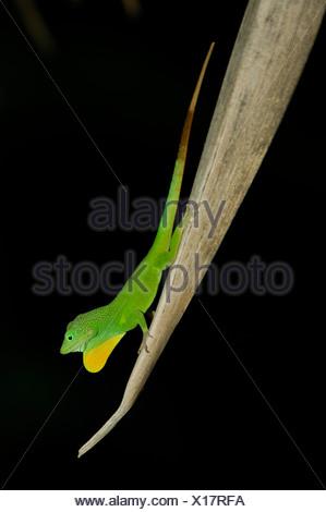 Caribbean Port Antonio Jamaica Lizard Mockingbird Hill Hotel North Coast Genus Anolis Lizard Green Yellow Dewlap Fauna Animals - Stock Photo