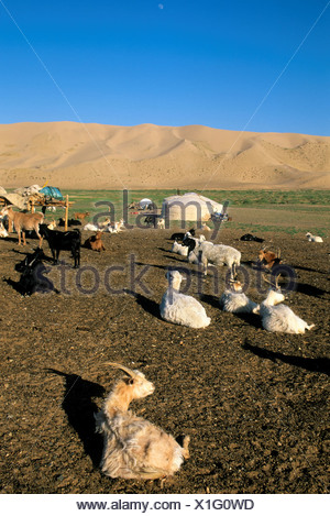 Mongolia,  Near Dalanzadgad, Gobi Desert At Khongoryn Els (Sand Dunes), Ger (Yurt), Goats And Sheep - Stock Photo