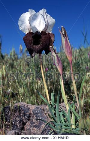 bearded iris (Iris elegantissima, Iris iberica ssp. elegantissima), White lily from Ararat, Turkey, Ararat - Stock Photo