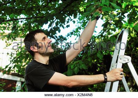 Man on ladder picking tree - Stock Photo