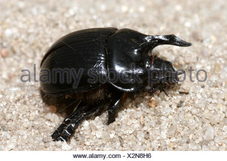 zoology / animals, insect, beetles, Typhoeus typhoeus, sitting on sandy ground, distribution: Europe, North Africa, - Stock Photo