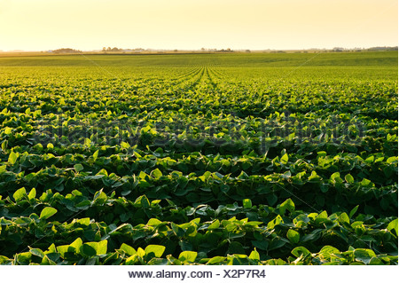 Agriculture - Healthy mid growth soybean crop in mid Summer in late afternoon light / Iowa, USA. - Stock Photo