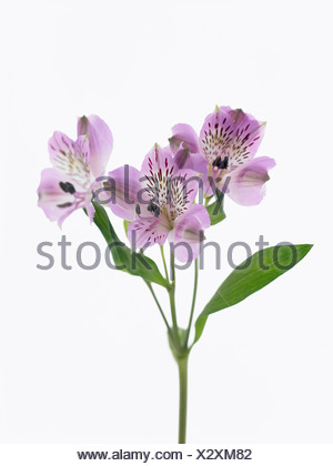 White alstroemeria flower on a stalk with green background stock alstroemeria cultivar peruvian lily purple flowers on a single stem against a white background mightylinksfo Gallery