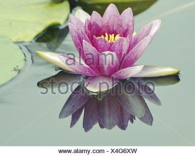 Big lotus flower stock photo 127534123 alamy big lotus flower stock photo mightylinksfo Image collections