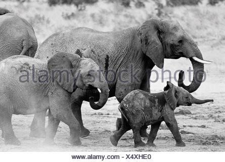 Elephant Family Walking in Mud - Stock Photo