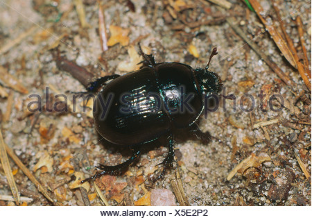 zoology / animals, insect, beetles, Earth-boring dung beetle, (Geotrupes stercorarius), on woodground, distribution: Europe, col - Stock Photo