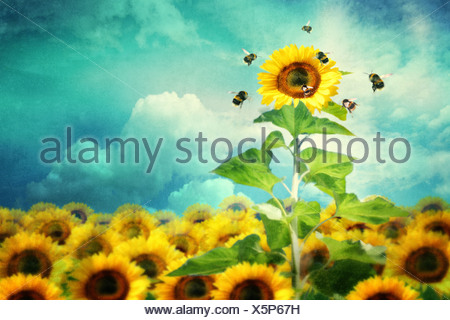 concept image of a tall sunflower standing out and attracting more bees - Stock Photo