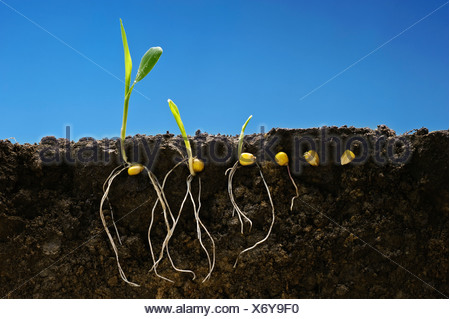 Grain corn early growth development stages showing root systems; left to right: six stages from seed stage to two-leaf stage. - Stock Photo