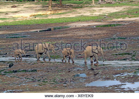 Forest elephant, African elephant (Loxodonta cyclotis, Loxodonta africana cyclotis), herd walking in the forest clearing, Central African Republic, Sangha-Mbaere, Dzanga-Sangha - Stock Photo