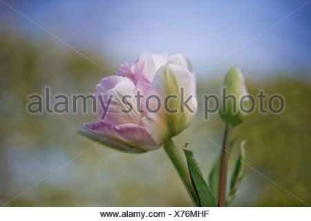 Pink double tulip in full bloom - Stock Photo