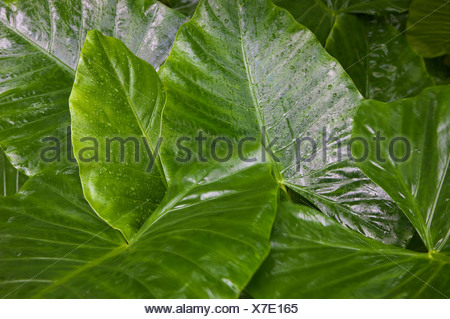 A lush garden at Mockingbird Hill, Jamaica. - Stock Photo