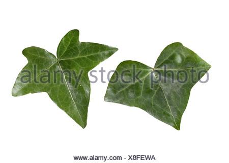 IVY Hedera helix (Araliaceae) - Stock Photo