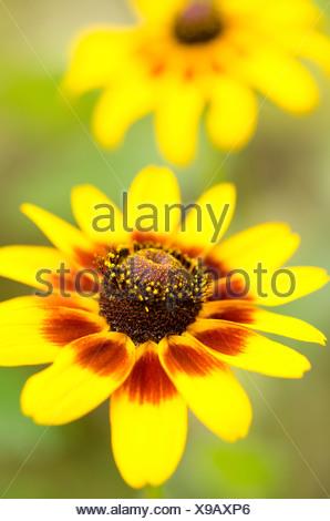 Close up of black-eyed Susan flower - Stock Photo