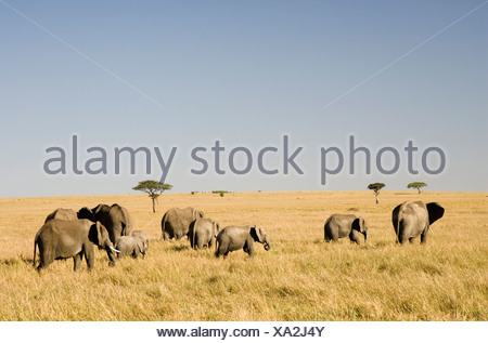Rear View of African Elephant (Loxodonta africana) Herd Walking Through the Bushveld - Stock Photo
